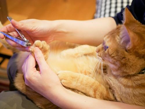 後ろ足の爪を切られる猫