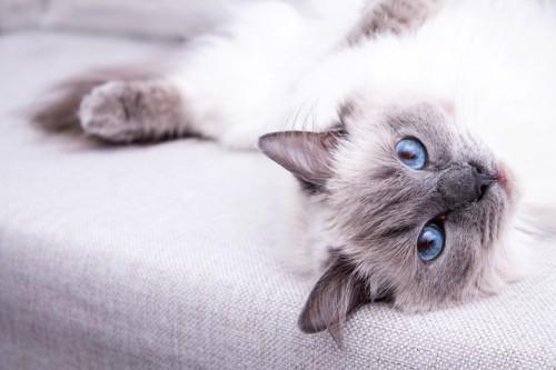ソファーに寝転ぶブルーの瞳の長毛猫