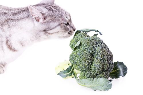 ブロッコリーをみつめる猫