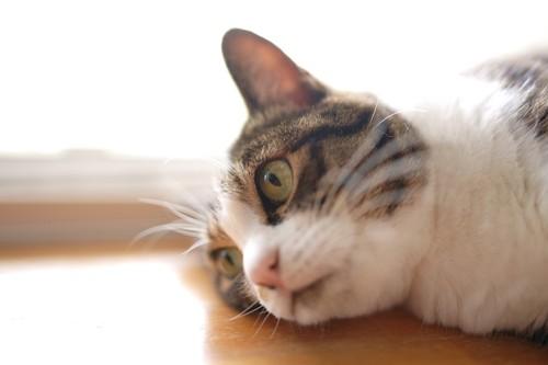 床に横になって耳を澄ます猫