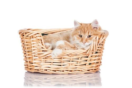 ぴったりサイズの夏用ベッドのカゴに入る猫