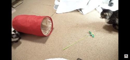 おもちゃのトンネルを見つめる猫
