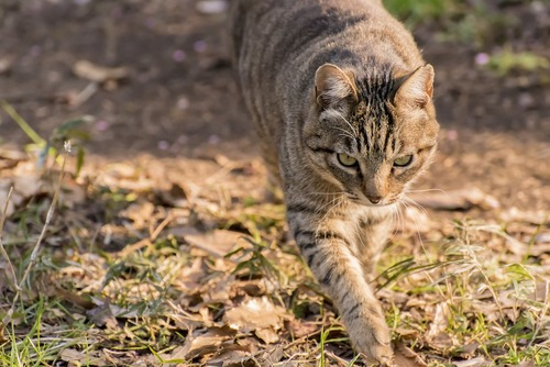 こちらに向かって歩いてくる野良猫
