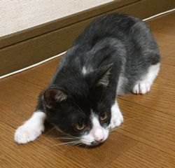 床の上で伏せている子猫