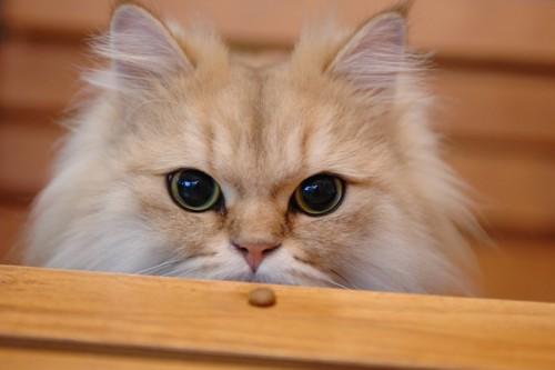 真ん丸黒目な猫