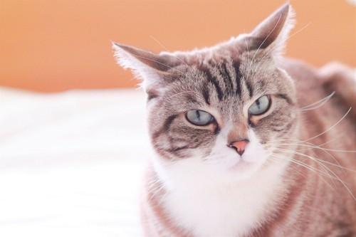 こちらを見るイカ耳の猫