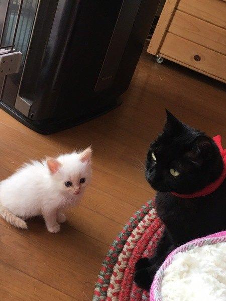 黒猫に教わる白猫の子猫