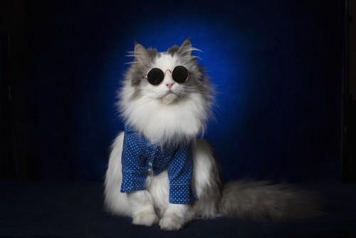サングラスと洋服でキメた猫