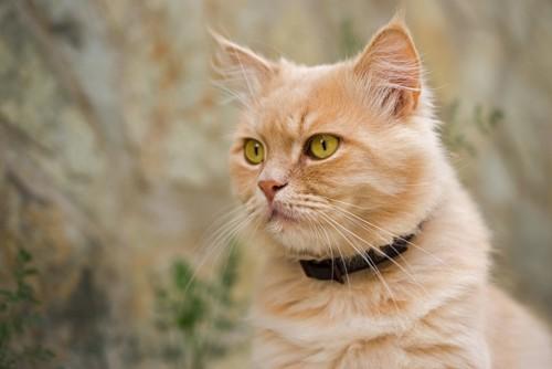 黒い首輪をつけた猫