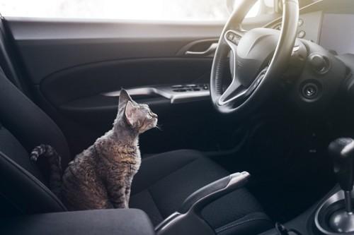 車の座席でハンドルを見る猫