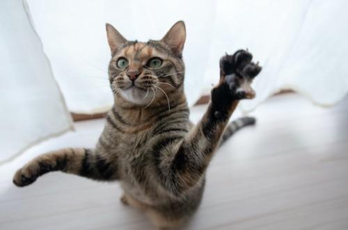 立ち上がってこちらにパンチしようとする猫
