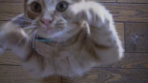 可愛くおねだりする猫