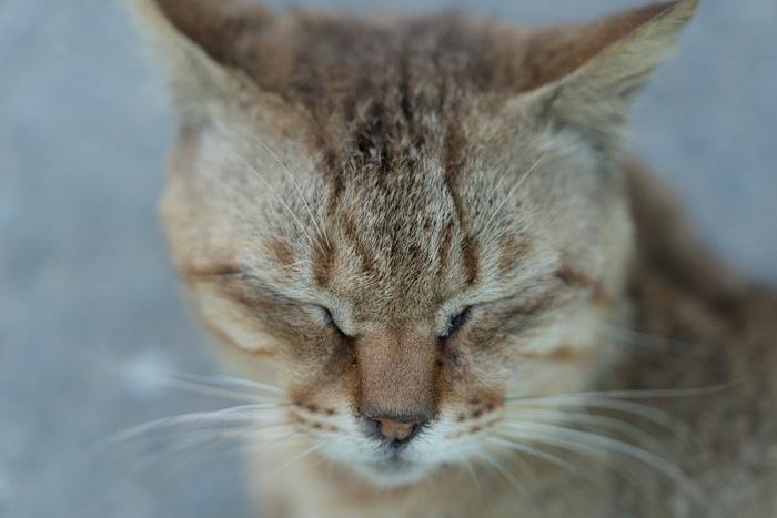 目を閉じる猫の顔