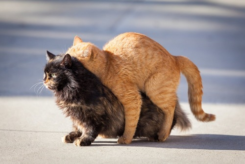 交尾中の猫