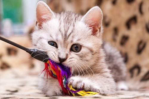 猫じゃらしを齧る子猫