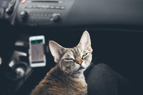 車の中で振り向く猫