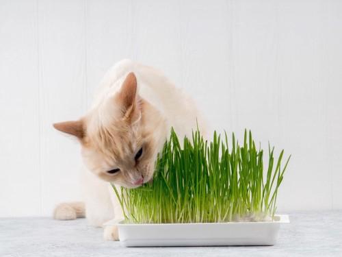 猫草をむさぼる猫