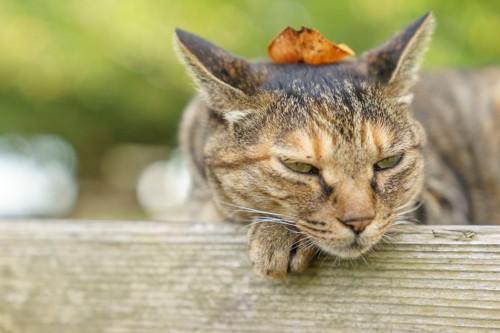 落ち葉を頭の上に乗せて眠そうな表情の猫
