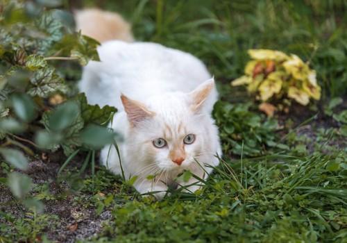 草むらの中にいるターキッシュバン