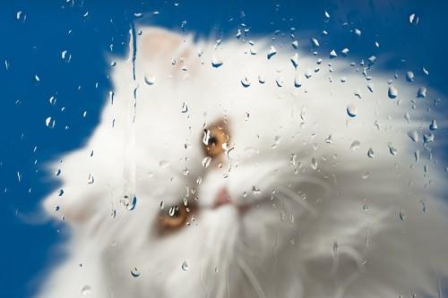 窓の雨を内側から眺める白い猫