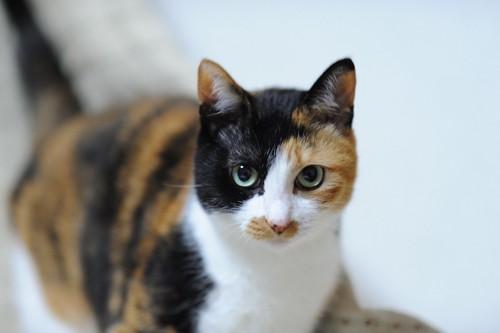大きな瞳の三毛猫