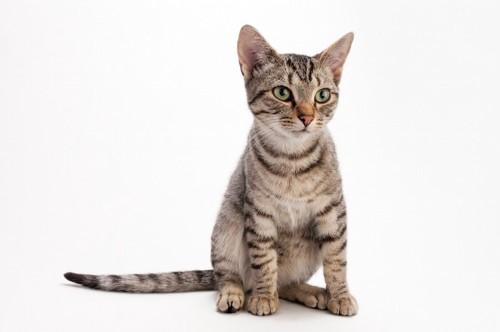 座って真剣な顔つきの猫