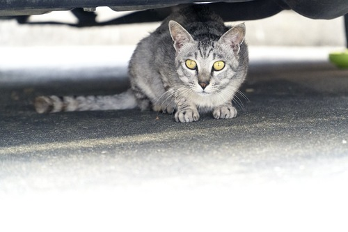 車の下に隠れて様子を伺う猫