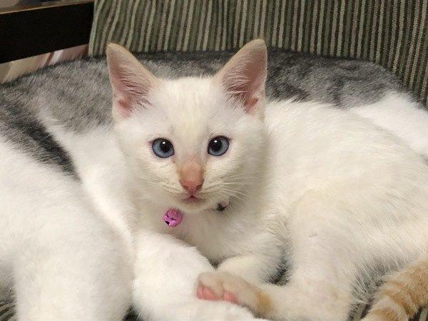 青い目が美しい白猫の子猫