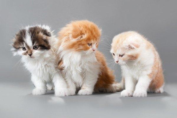 3匹のスコティッシュフォールドの子猫