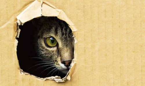 穴の空いた段ボールから顔をのぞかせる猫