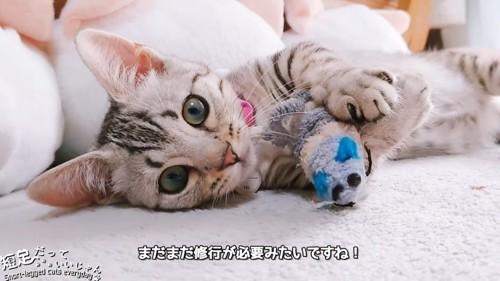 おもちゃを抱えて寝転がる猫