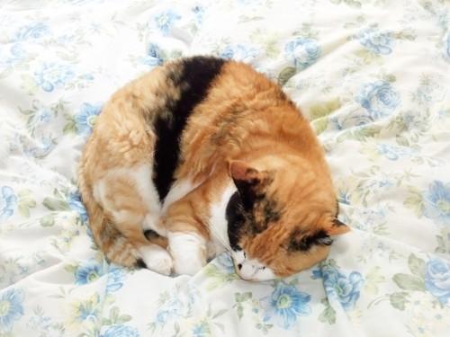 布団の上で丸まって眠る猫