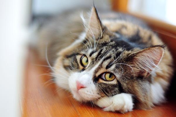 黄色い目で長い毛の猫
