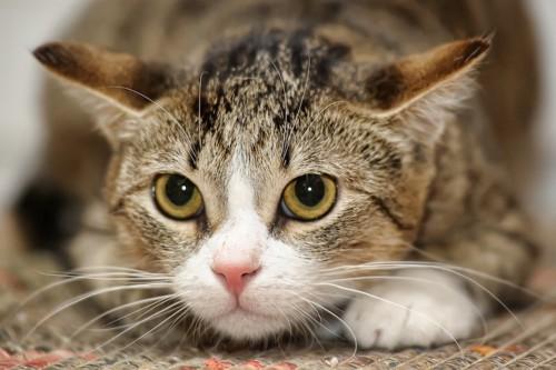 姿勢を低くした猫の顔アップ