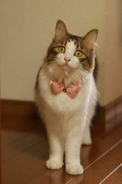 ピンクのリボンをつけたハチワレ猫