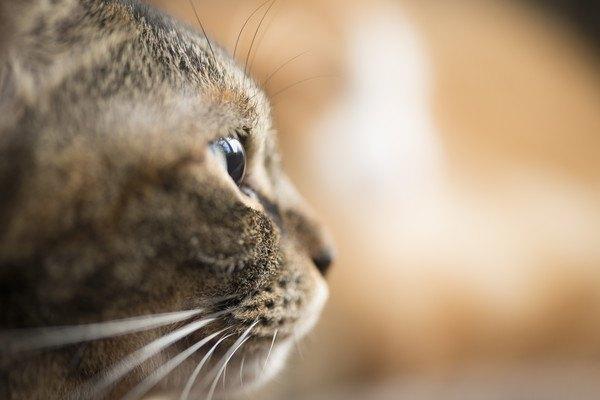 ジッと見つめる猫の横顔