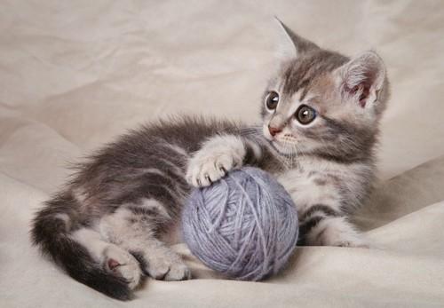 毛糸で遊ぶ子猫