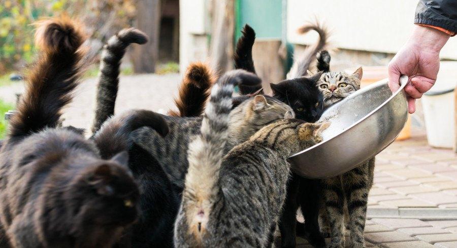 ご飯を食べるたくさんの猫