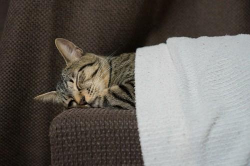ソファの上でタオルをかけて寝る猫