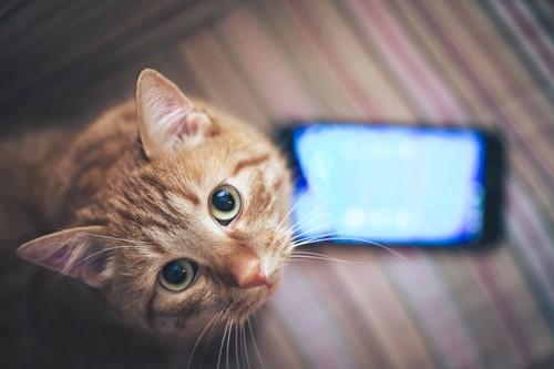 スマートフォンとこちらを見上げる猫