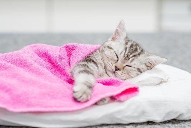 布団をかけて寝ている猫