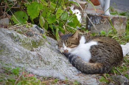 藍島で眠っている猫
