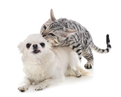 犬にマウンティングをする猫