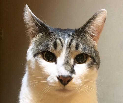 まっすぐと見つめてくる猫