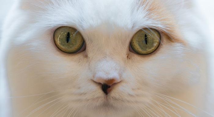白猫のアップ