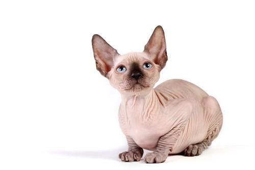 ポイントのあるスフィンクスの子猫
