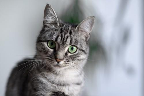 穏やかな表情の猫