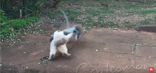 猿を襲う猫