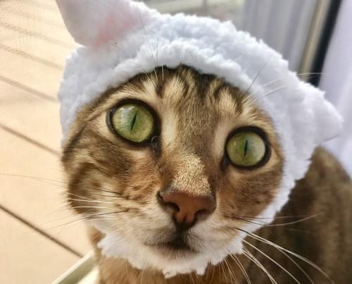 かぶり物をしているベンガル猫