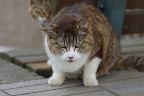 怒ったような表情で警戒している野良猫